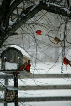 Red cardinals in winter!