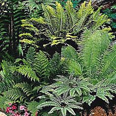 Ferns to plant around and in between the roots of the big oak tree!