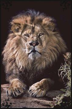 Male Lion - Animal Rescue - Google+