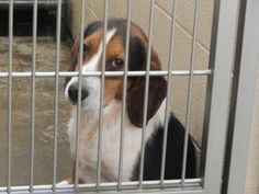 Meet+Short+Stuff,+a+Petfinder+adoptable+Beagle+Dog+|+Pikeville,+KY+|+Thank+you+for+taking+the+time+to+view+a+pet+from+the+Pike+County+Animal+Shelter!++If+you+are...