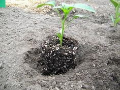 Planting bell peppers