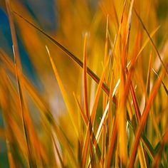 Orange foliage: Libertia peregrinans