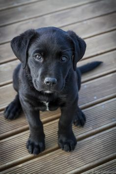 My parents won't let me get a puppy, and it makes me so sad. I love little black lab puppies.
