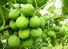 Jatropha is a multi-purpose crop that has flowering at the top. The main advantage of Jatropha crop is that it has high oil content plus the cost of its seeds are low. Know more about its advantages and cultivation process here