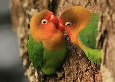 A new genetic study of birds shows that parrots, such as these African Fischer's lovebirds, are songbirds' closest relatives. As is true of many songbirds, parrots learn their songs from their parents. Cute Birds, Pretty Birds, Beautiful Birds, Exotic Birds, Colorful Birds, African Lovebirds, Bird Wallpaper, Bird Pictures, African Animals