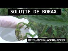 Soluție de BORAX pentru a împiedica avortarea florilor la roșii - YouTube Youtube, Avocado, Plant, Lawyer, Youtubers, Youtube Movies