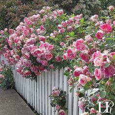 Carefree Wonder Rose - Landscape - Lightly Fragrant - Heirloom Roses