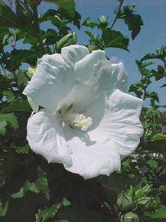 "Rose of Sharon, HIBISCUS syriacus 'Diana'.   Very tolerant of summer heat and humidity. Large flowers may be obtained by pruning back hard to 2-3 buds in early spring. Features showy, hollyhock-like, 5-petaled, pure white flowers (4-6"" diameter) with no eye. Each flower has a prominent and showy center staminal column. Early-summer to fall bloom period. Flowers stay open at night. Produces very few if any seed pods. Zones 5 to 8."