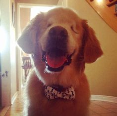 What Smiley the golden retriever lacks in vision, he makes up for in love. The blind dog, named for his constant doggy grin, is receiving viral attention for his work as a therapist. Smiley was born without eyes, grew up in a puppy mill and suffered… Animals And Pets, Baby Animals, Cute Animals, Animals Beautiful, Silly Dogs, Cute Dogs, Disabled Dog, Celebrity Dogs, Therapy Dogs