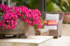 Plant Bougainvillea in a pot. Choose compact varieties such as 'Singapore Pink' , 'Temple Fire' or 'Purple Queen'. When planting take special care not to break up the root ball as these plants are sensitive about this. Bougainvillea, Container Plants, Container Gardening, Balcony Garden, Garden Pots, Landscape Design, Garden Design, The Secret Garden, Secret Gardens