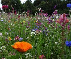 Blomsteräng, Våren Äng, Blommor, Vilda Blommor