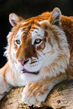 Attentive golden tiger/ byTambako The Jaguar