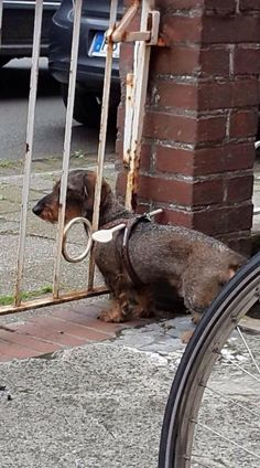 Trust me I'm an engineer - dachshund dog fence gadget Basset Dachshund, Dachshund Love, Dachshunds, Daschund, Animals And Pets, Funny Animals, Cute Animals, Funny Dogs, Cute Dogs