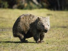 Wombat :) it's like a beaver mixed with a squirrel mixed with a pig Wombat, Black Bear, Brown Bear, Types Of Animals, Cute Animals, European Map, Exotic Pets, Exotic Animals, Animal 2