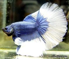 Butterfly Betta (blue/white or pale), Delta tail.