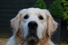 golden retriver by mann_peers, via Flickr