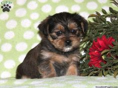 Daisy, Shorkie puppy for sale from Christiana, PA Shorkie Puppies For Sale, Greenfield Puppies, Dogs Of The World, Daisy, Pets, Animals, Animals And Pets, Animales, Animaux