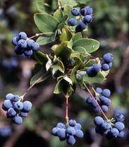 Fruto del michay: arbusto espinoso con frutos comestibles, frecuente en la Patagonia. También se lo conoce como calafate. Se utiliza en bebidas y dulces. La leyenda dice que quien come su fruto, vuelve a la Patagonia :)