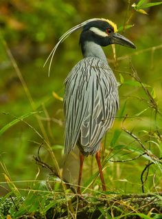Yellow-crested Night-Heron (Nyctanassa violacea, formerly placed in the genus Nycticorax) near Broken Bow Lake in Beavers Bend State Park Kinds Of Birds, All Birds, Birds Of Prey, Love Birds, Beavers Bend State Park, State Parks, Pretty Birds, Beautiful Birds, Shorebirds
