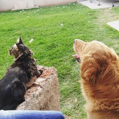 Cat and dog / Maine coon / golden