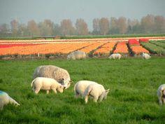 De serie tulpen en schapen in april 2005, gezien vanaf Snevert bij Schagen.