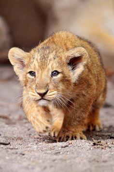 Stalking lion. Cub. Magical Nature Tour