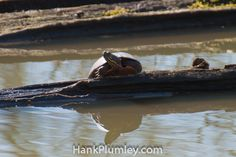 A #turtle suns itself #animals #photos