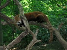 Sleeping red panda at the Bronx Zoo.
