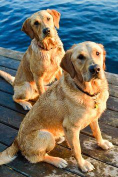 Payton and Hank, Goldador brothers #goldenretriever #yellowlab