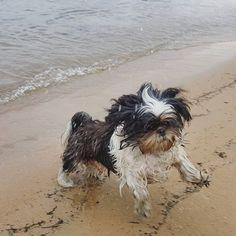 Hoje fui conhecer Coronado e já aproveitei pra nadar, mesmo sem mamãe e papai deixarem! Amo muito água!  #shihtzusofinstagram #shihtzulovers #friends #dog #dogsofinstagram #pet #petstagram #weekdays #instadaily #daily #instagood #instadog #sun #summer #beach #beautiful #california #carliforniadreaming #calidog #petsmart #petco #dogbeach #coronado #sandiegoconnection #sdlocals #coronadolocals - posted by Ramon https://www.instagram.com/ramon_shihtzu. See more post on Coronado at…