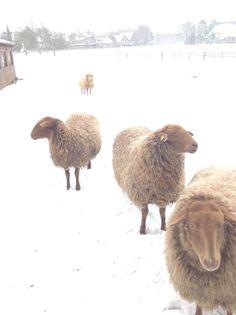 Mijn Coburger fuchs schapen in de sneeuw