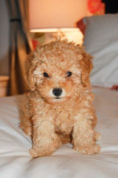 Toy poodle puppy love!!!