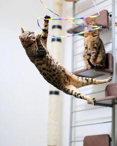 "aosorafuu.888: ""Yes!!Got Rainbow Cat Charmer Bengal cat Kai(海)-chan  よっしゃ!!かいちゃんのクルクルミラクルレインボーキャットチャーマータッチタッチ今日もかいちゃん高く高く飛びます  #meowbox #flaffy101cats #nature_cuties #igcutest_animals #cat_features #amazing_picturez_animals #weeklyfluff #bestmeow #pets_perfection #meowvswoof #iganimal_snaps #topcatphoto #bestcats_oftheworld #petoftoday #feature_do2 #magnificent_meowdels #catsmosh #club_of_cats #snazzycats #animalbuzz #my_pet_feature #ig_catclub #my_loving_pet #IG_Bengals #catsofinstagram…"