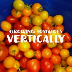 How to Grow Tomatoes in Your GreenStalk Growing Seeds, Growing Plants, Tomato Garden, Vegetable Garden, Vertical Planter, Vertical Gardens, Determinate Tomatoes, Plant Box, Grow Tomatoes