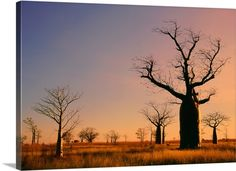 Photographic Print: Boab Trees (Adansonia Gregorii) against a Sunset Sky at Derby in the Kimberley, Western Australia by Peter Walton Photography : 24 Western Australia, Australia Travel, Australia Photos, Beautiful World, Beautiful Places, Beautiful Scenery, Australian Photography, Western Photography, Street Photography