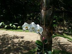 Flor del Espiritu Santo (orquidea)