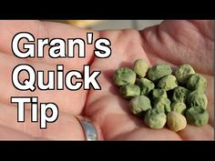 Itching to get in the Garden? Did you know you can plant cold hardy crops like peas, onions, garlic and many leafy greens before you hit your last frost date? These crops won't be hurt by the frost and they allow you to get a head start on the season! Food Safety Tips, Diy Garden Projects, Garden Ideas, Fancy Schmancy, Organic Seeds, Container House Design, Organic Gardening Tips, Hobby Farms, Container Gardening