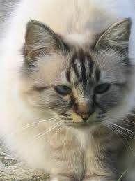 http://flolly.com/cats/cat-breeds/birman-cat/