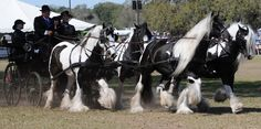 The Gypsy Horse (USA, UK, AU), aka the Gypsy Cob (UK, NZ), Coloured Cob (UK, Ireland, parts of Continental Europe), Gypsy Vanner (US, CAN), Irish Cob, and Tinker Horse (parts of Continental Europe), is a horse breed originally developed by Romanichal peoples native to the British Isles.
