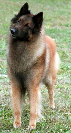 Belgian Shepherd Dog (Tervueren)