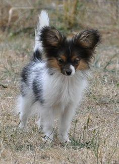 Love those ears!! - Papillon-White, black & tan Pap