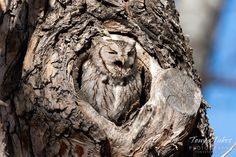 An Eastern Screech Owl makes its distinctive trill sound in the suburbs of Denver, Colorado. (© Tony's Takes)