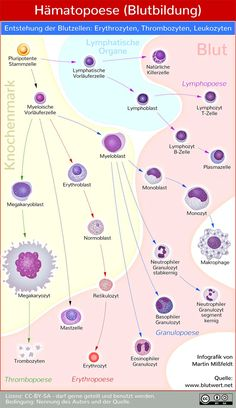 Infographic hematopoiesis (blood formation) - development of different blood cells . - Infographic hematopoiesis (blood formation) – development of various blood cells from a pluripote - Blood Cells, Med School, Anatomy And Physiology, Doterra Essential Oils, Study Motivation, Stem Cells, Science Education, Infographic Templates, Knowledge