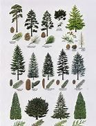 coniferous tree identification - Bing Images