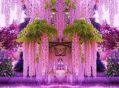 The most famous gardens of wisteria is in Japan, Ashikaga, the island of Honshu