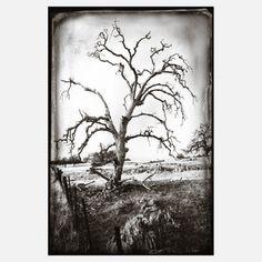 Dried Oak Daguerreotype 16x20 now featured on Fab.