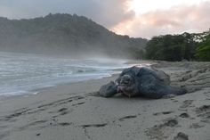 A leatherback turtle weighing almost half a ton heads back into the ocean after burying bury her clutch of eggs in the sand at daybreak on Thursday, May 2, 2013, on a narrow strip of beach in Grande Riviere, Trinidad. With more than half of all adult leatherback turtles on the planet having been lost since 1980, mostly in the Eastern Pacific and Asia, the resurgence of leatherbacks in Trinidad is touted by many as a major achievement..