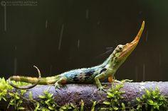 """Salvando al lagarto """"Pinocho"""" - Apuntes de Naturaleza"""