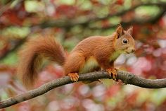 Squirrel Nager Rodent Animal Parus Ma