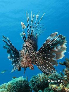 Lion Fish                                                                                                                                                                                 Más